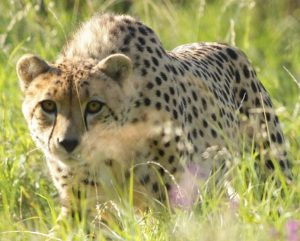 cheetah-at-port-lympne-wild-animal-park-c-taf-2